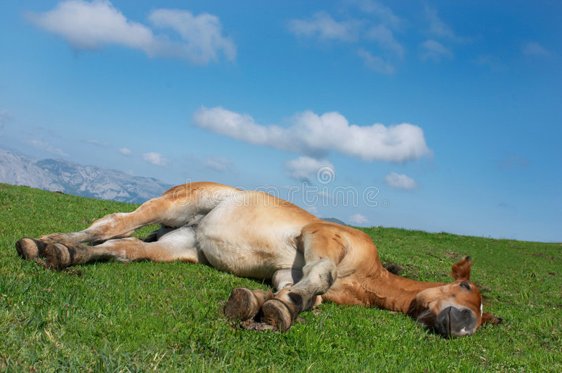 Cheval se situant dans l'herbe images libres de droits
