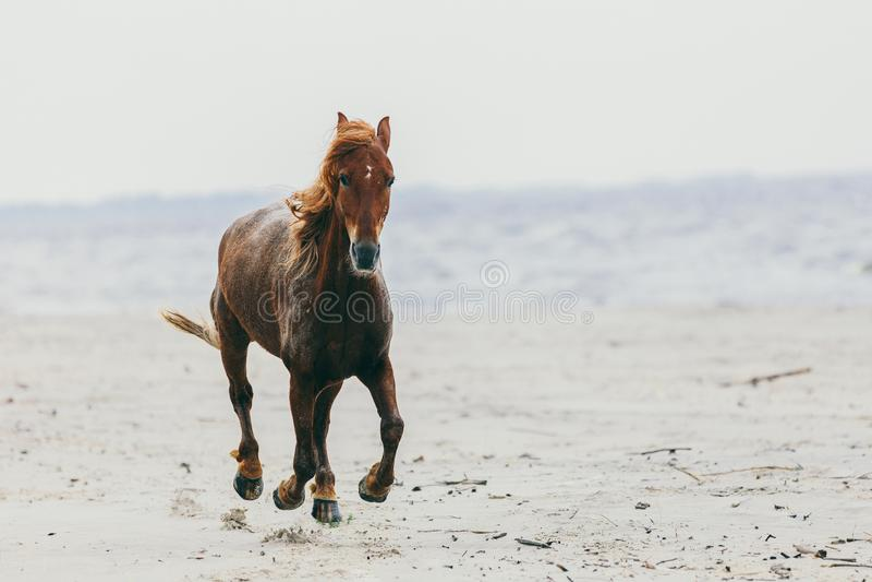 Cheval seul faisant un pas sur la plage sablonneuse photo libre de droits