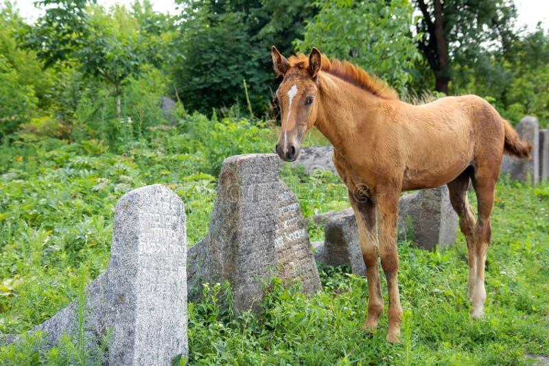Cheval sur le vieux cementery juif photographie stock libre de droits