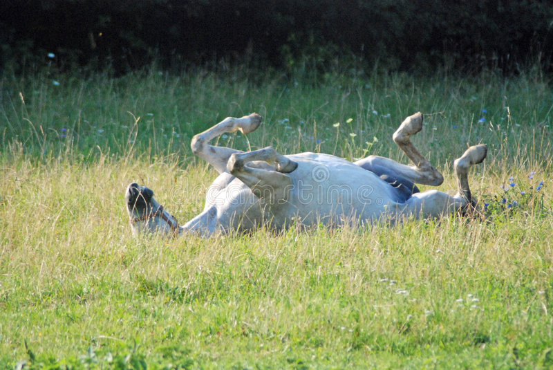 Cheval wallowing dans l'herbe images stock