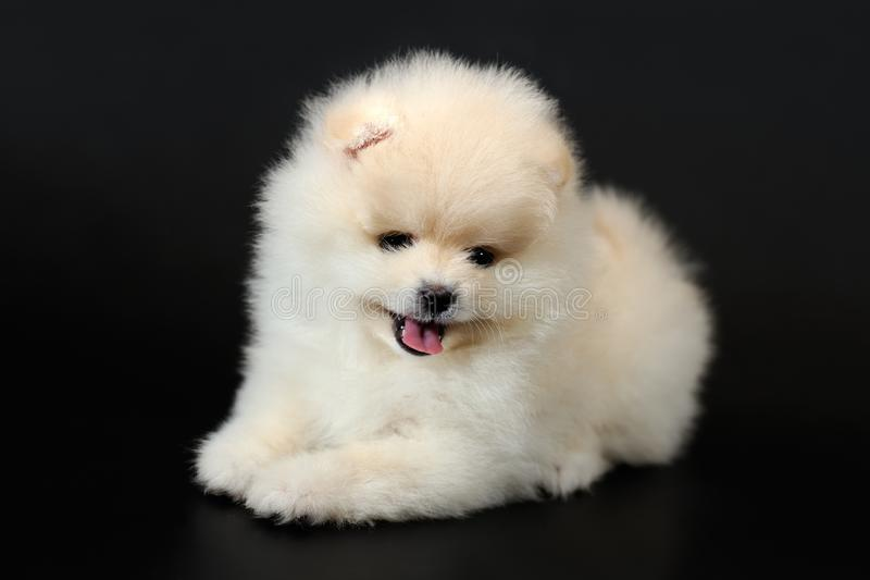 Chevaleresk nobel hund - härdad Chihuahua royaltyfri fotografi