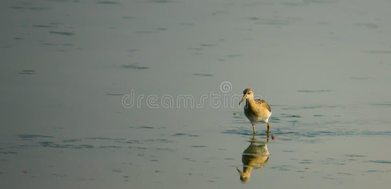 Chevalier aboyeur pataugeant sur une lagune photographie stock