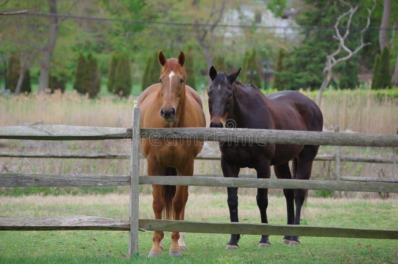 2 chevaux image libre de droits