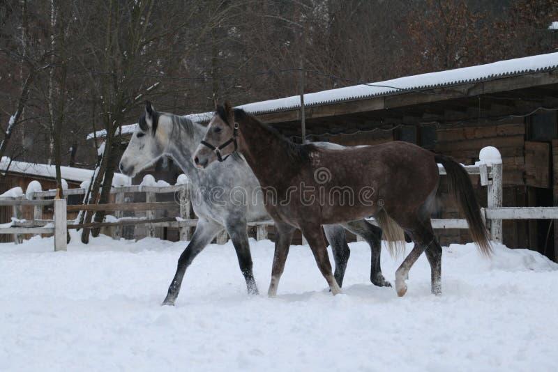 Chevaux Arabes marchant dans la neige dans le pré contre une écurie d'hiver, une barrière blanche et des arbres avec les feuilles images stock