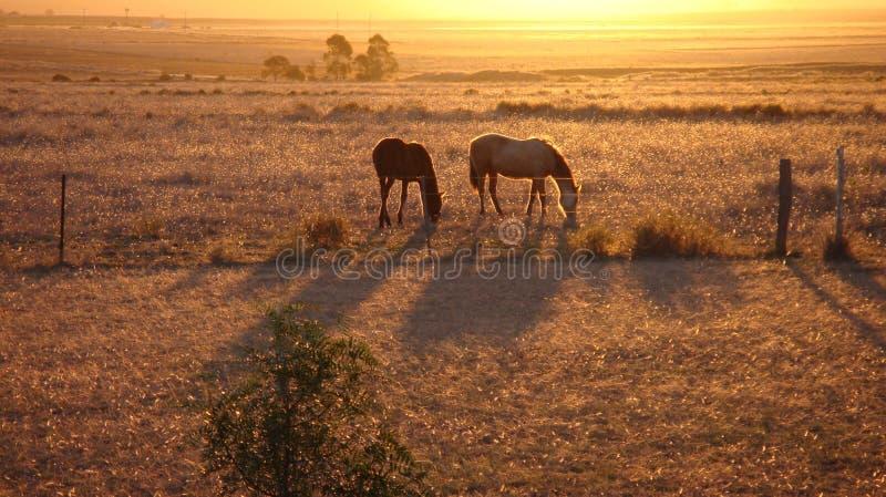 Chevaux au coucher du soleil dans le domaine. photo libre de droits