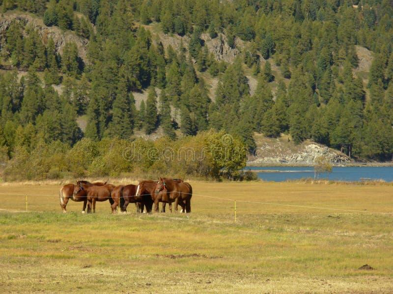 Chevaux au lac Silvaplana photo stock