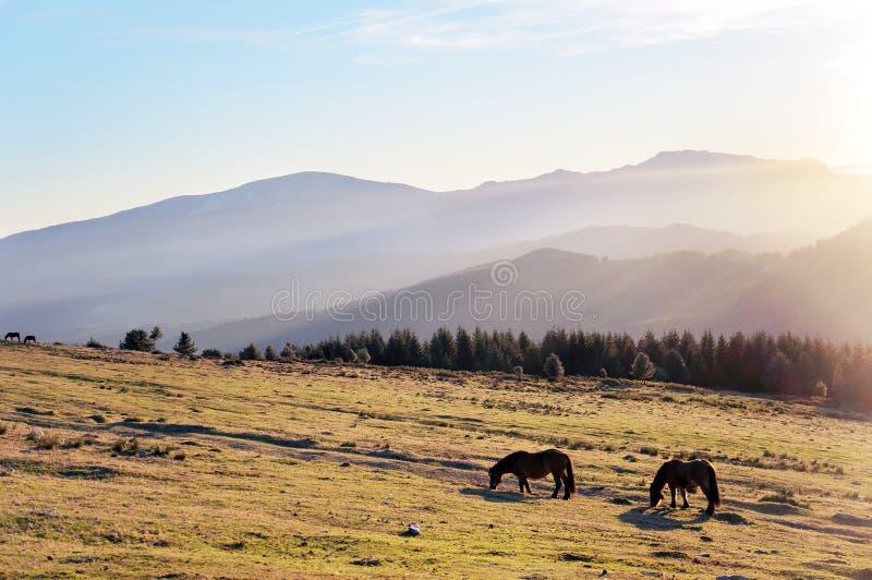 Chevaux au matin sur des montagnes avec la belle lumière images libres de droits