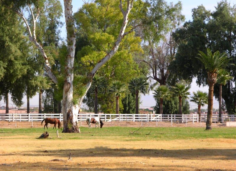 Chevaux au pâturage photos stock