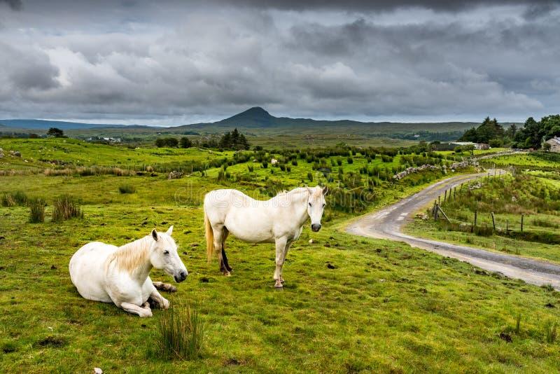 Chevaux blancs en Irlande image stock