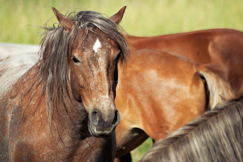 Chevaux (caballus de ferus d'Equus) photo stock
