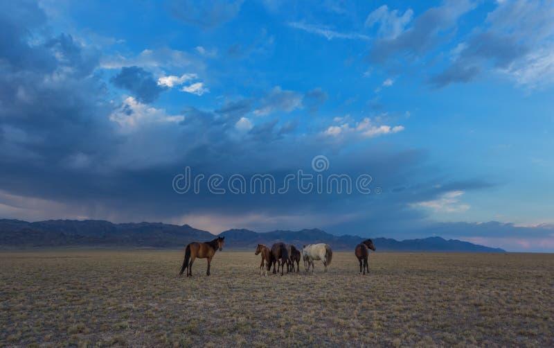 Chevaux chez les chevaux de steppe images libres de droits