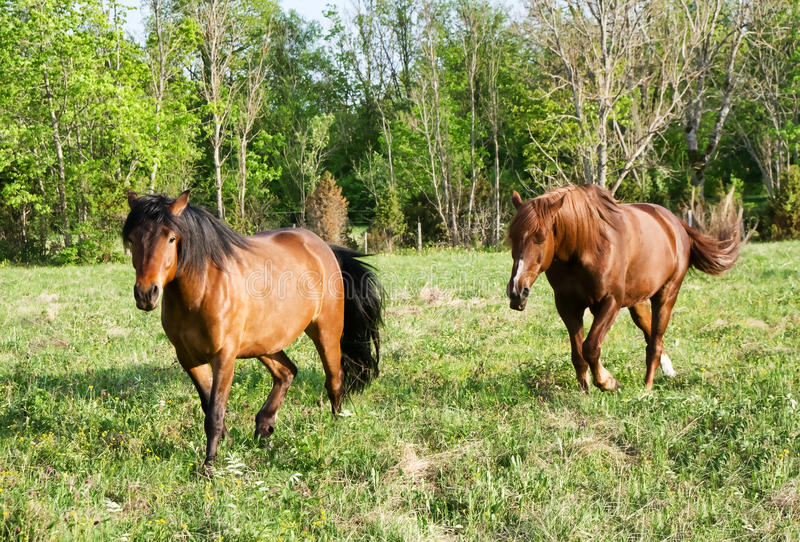 Chevaux courants images stock