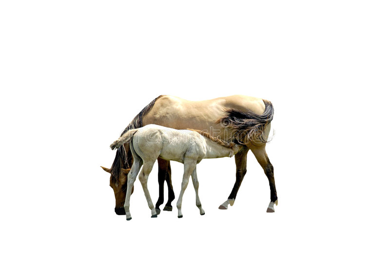 Download Chevaux D'isolement Photographie stock - Image: 5004172