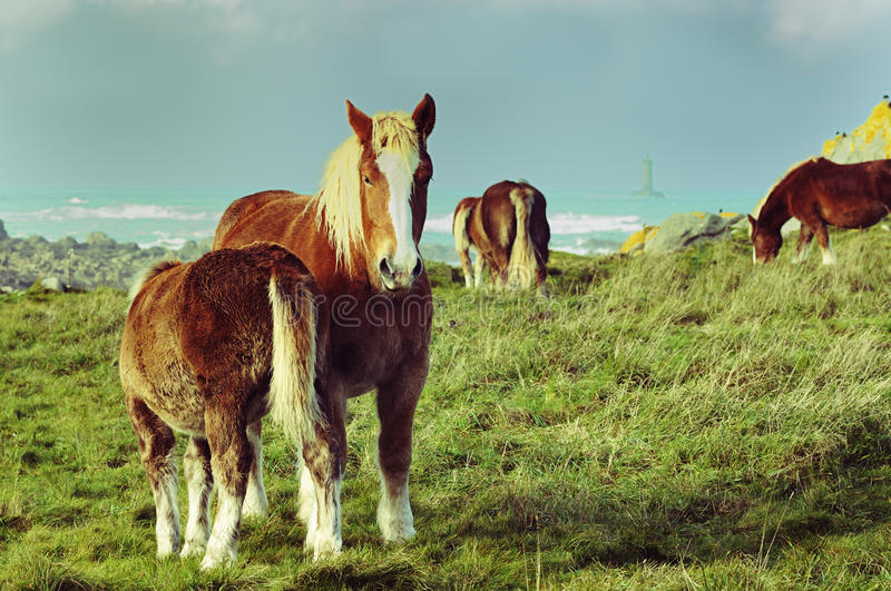 Chevaux dans Brittany photographie stock