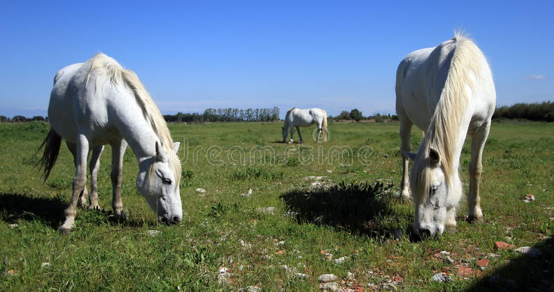 Chevaux dans Camargue, France photo stock