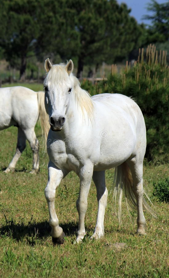 Chevaux dans Camargue, France photos stock