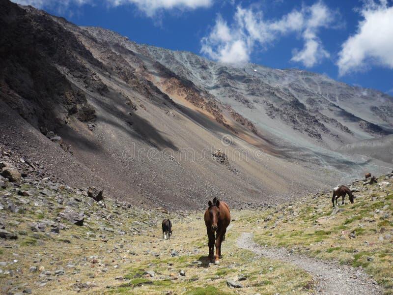 Chevaux dans l'Argentin les Andes images stock