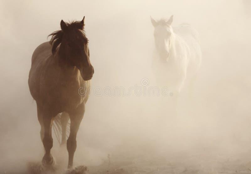 Chevaux dans la poussière photographie stock