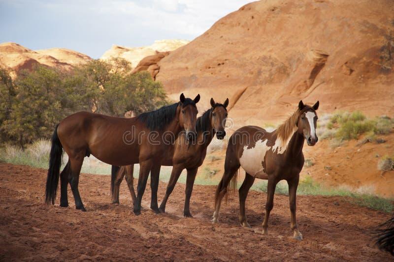 Chevaux dans la vallée de monument, Arizona, Etats-Unis images stock