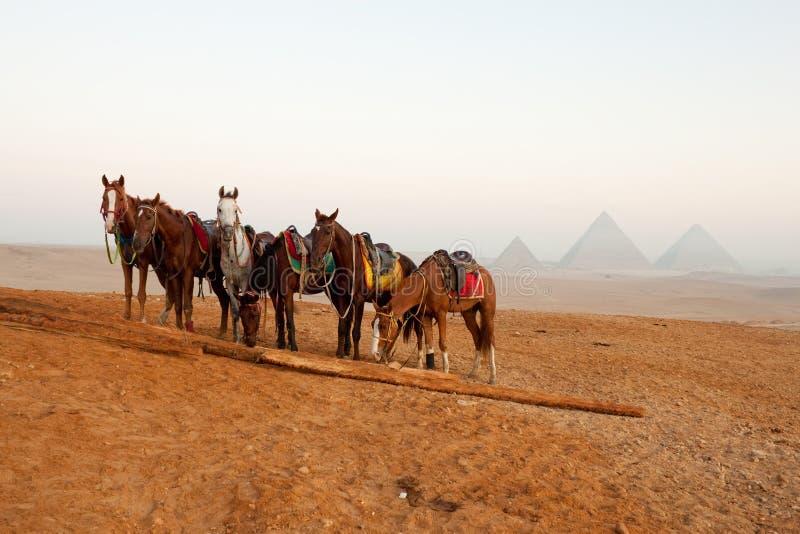 Chevaux dans le désert près des pyramides à Giza image stock