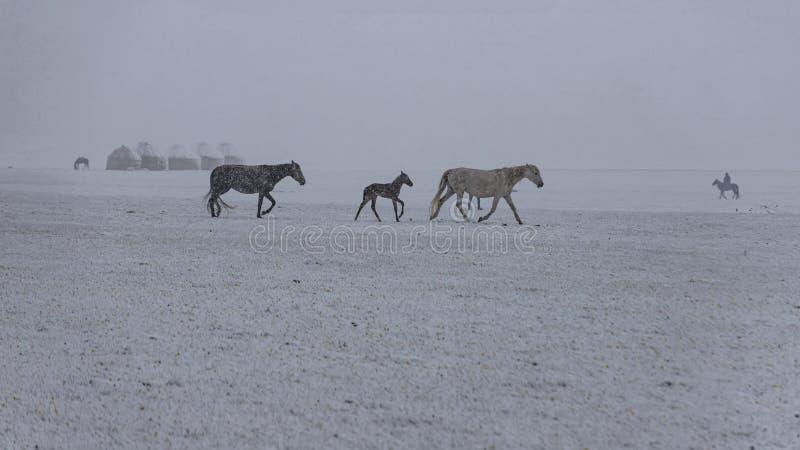 Chevaux dans le pâturage couvert de neige de montagne sous la neige en baisse Voyage du Kirghizistan photographie stock