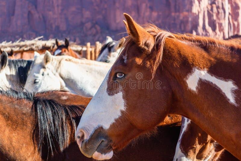 Chevaux dans le stylo en vallée de monument, Utah images stock