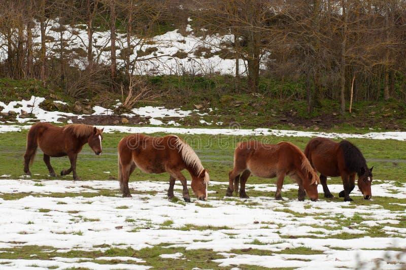 Chevaux dans les domaines couverts par la neige photo libre de droits