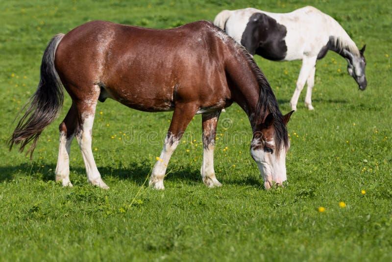 2 chevaux dans un pré images libres de droits
