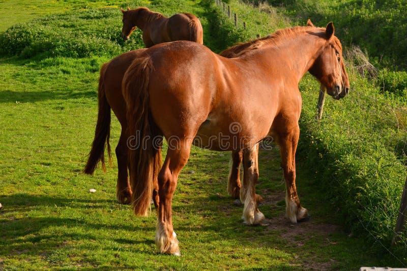 Chevaux de Brown frôlant sur un champ, Norfolk, Baconsthorpe, Royaume-Uni photographie stock libre de droits