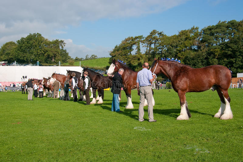 Chevaux de comté sur l'exposition à l'exposition de Westmorland photos stock