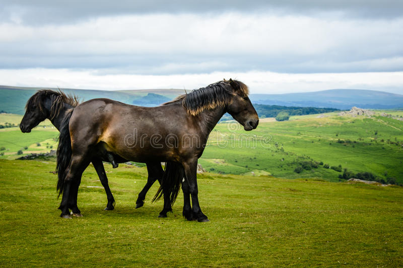Download Chevaux de Dartmoor (2) image stock. Image du avant, chevaux - 76076053