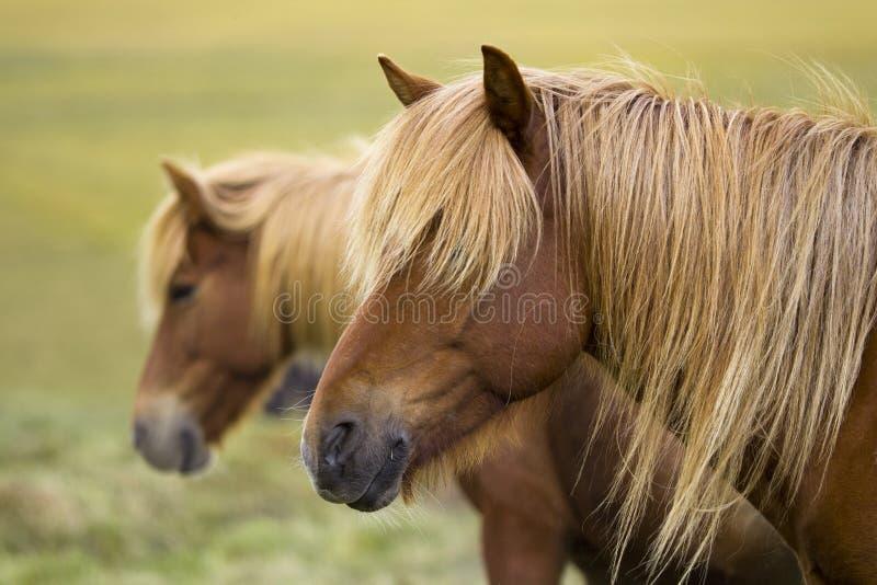 Chevaux de l'Islande photographie stock libre de droits