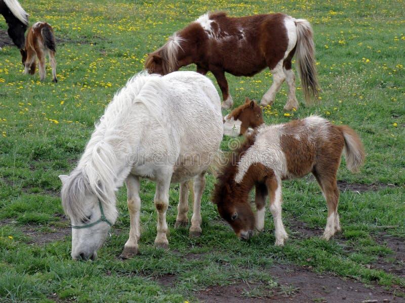 Chevaux de poney frôlant dans le pré photographie stock