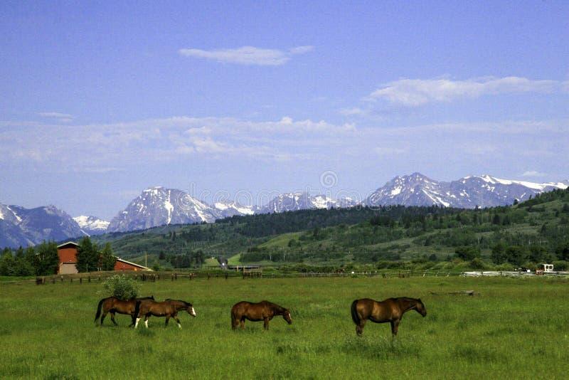 Chevaux devant des montagnes image libre de droits