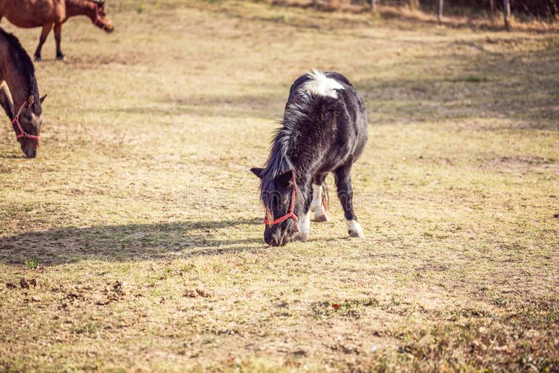 Chevaux domestiques - beau poney frôlant dans un pré et une consommation photos stock