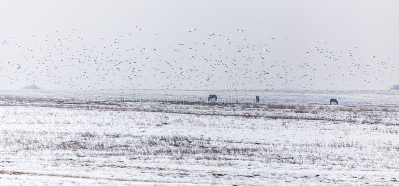 Chevaux et oiseaux dans le désert pendant l'hiver image libre de droits