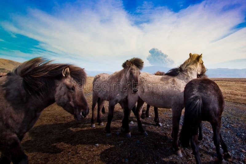 Chevaux et volcan islandais   photos libres de droits