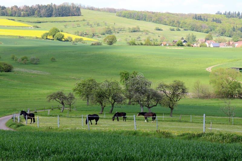 Chevaux frôlant dans un pâturage en Allemagne photographie stock libre de droits
