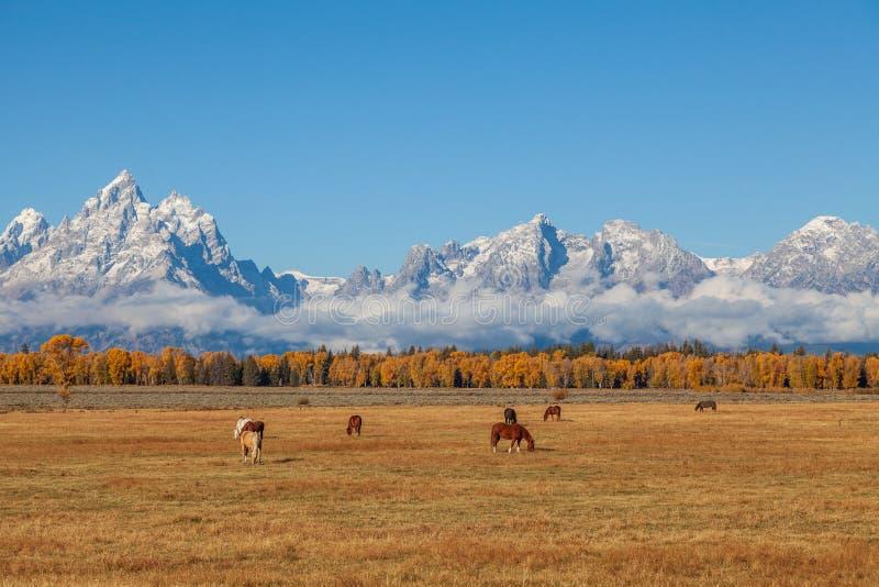 Chevaux frôlant dans un Teton Autumn Landscape photographie stock libre de droits