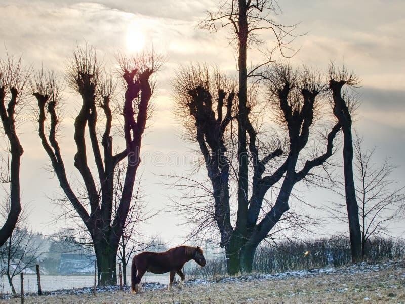 Chevaux frôlant sur le pâturage avec le reste de neige images stock