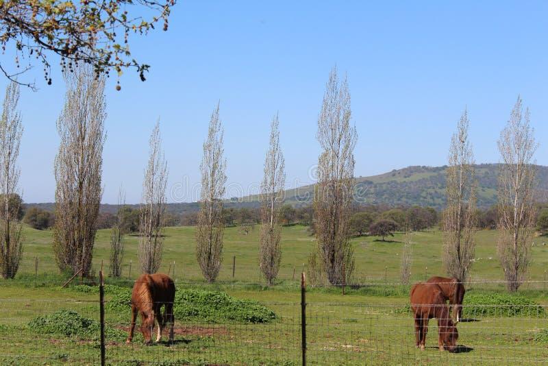 Chevaux frôlant avec un paysage de Mountain View images libres de droits