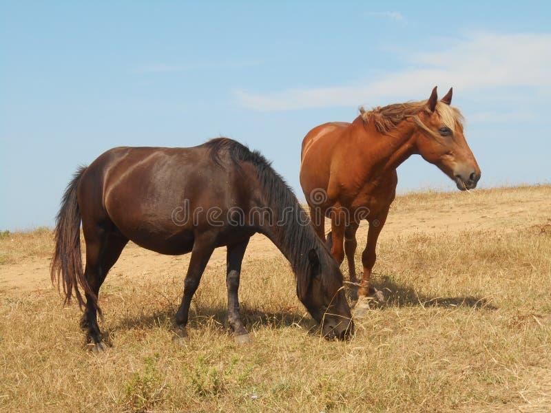 Chevaux frôlant sur la steppe images libres de droits