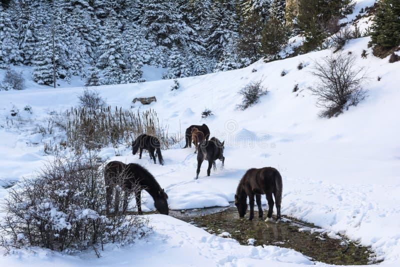 Chevaux gratuits de noir à la montagne de Ziria Sapins couverts de neige un jour d'hiver, Péloponnèse du sud, Grèce image libre de droits