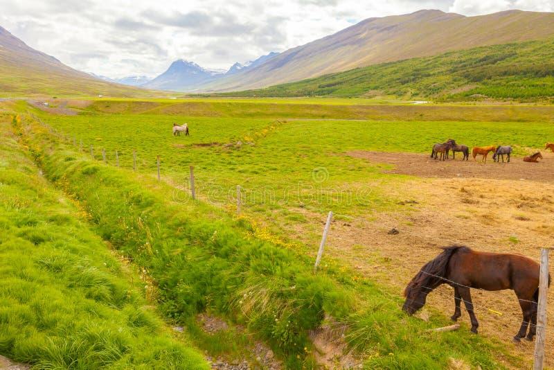 Chevaux islandais en été photos stock