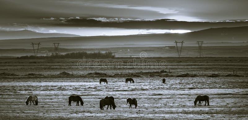 Chevaux islandais frôlant au coucher du soleil dans un domaine ouvert photographie stock libre de droits