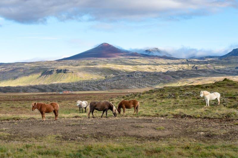 Chevaux islandais frôlant librement dans le vaste environnement islandais photo stock