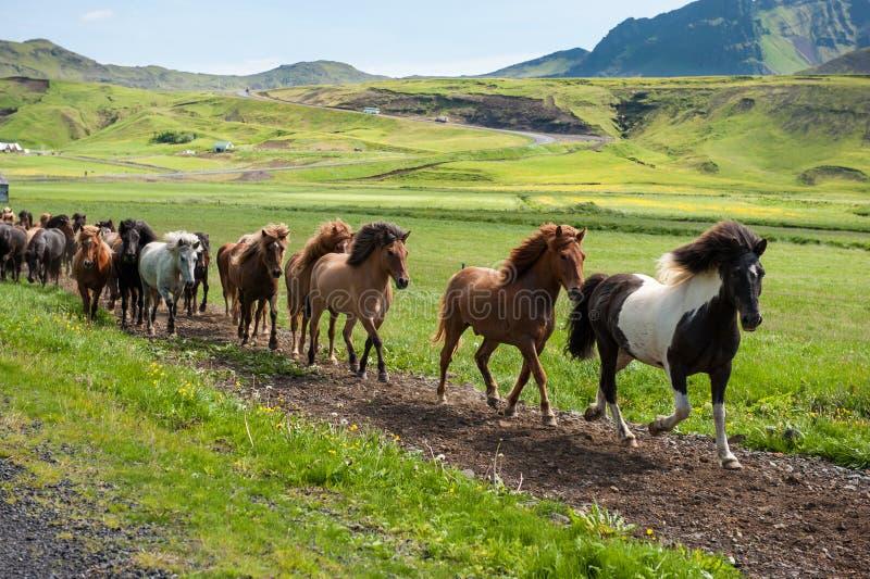 Chevaux islandais galopant en bas d'une route, paysage rural, Islande images libres de droits