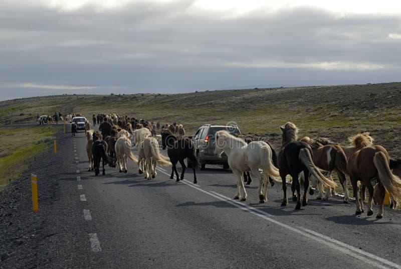 Chevaux islandais passant la route photo stock