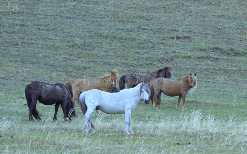 Chevaux La République du Sakha Yakutia photo stock