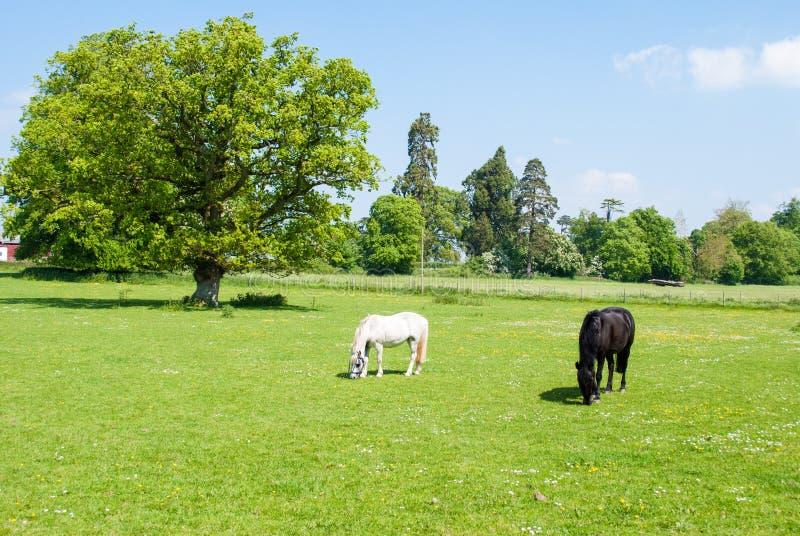 Chevaux noirs et blancs photo stock